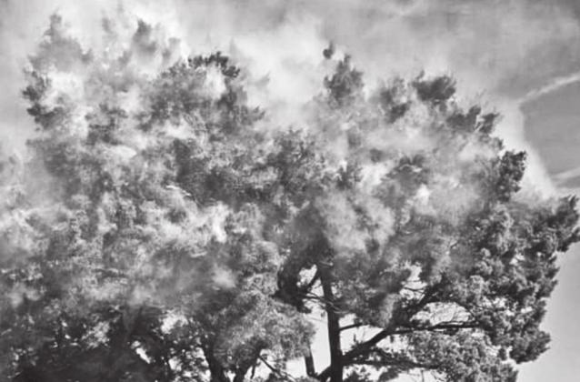 A cedar tree releases it pollen, making it look like the tree is on fire with smoke coming off of it. The Texas A&M Forest Service is explaining cedar fever, a common central Texas allergy. — Submitted photo