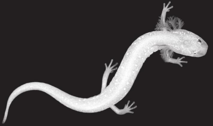 Biologists at the University of Texas at Austin identified this salamander who lives near the Pedernales River in February of 2019. Dr. Owen Parker, of Fredericksburg, is concerned that Kinder Morgan's pipeline could disrupt this at-risk species. — Photo courtesy Tom Devitt, the University of Texas at Austin