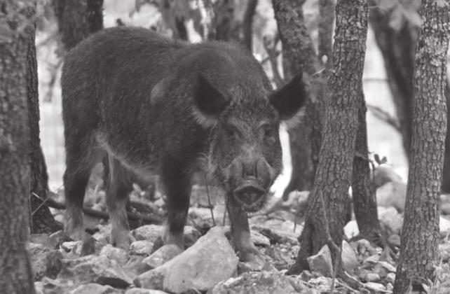 Feral hogs (or wild hogs) continue to grow in numbers in Texas and elsewhere. – Texas Parks and Wildlife Department photo